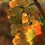 Grapes in Croatia