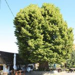 Matija Gubec's linden nominated for European Tree of the Year