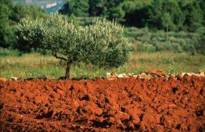 olive tree at hvar
